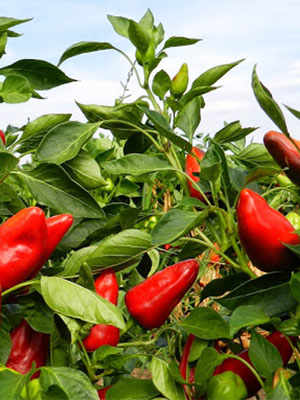 Peperoncino: Hot and Healthy
