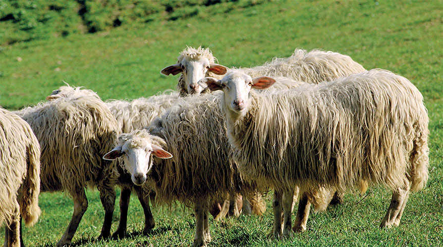 The inclusion in the IGP registry concerns all lamb raised for meat in the six regions of the peninsula's centre – Abruzzo, Emilia-Romagna (except the provinces of Ferrara and Piacenza), Lazio, Marche, Tuscany and Umbria – and belonging to the original breeds of the area.