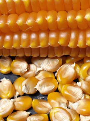 Scagliolo, The Amazing Maize of Carenno